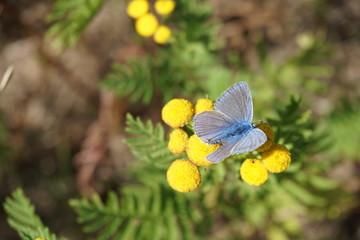 Himmelblauer Bläuling, Lysandra bellagus