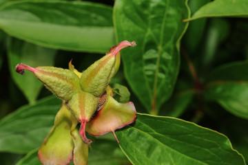 Früchte der Pfingstrose, Paeonia