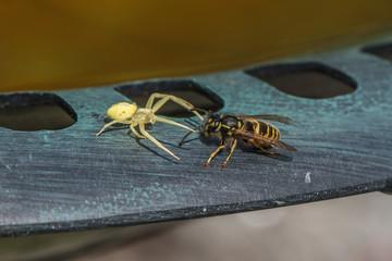Wespe und spinne
