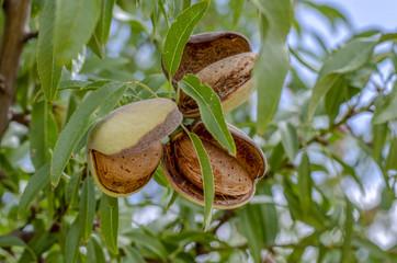 Almendras maduras en las ramas de los árboles.