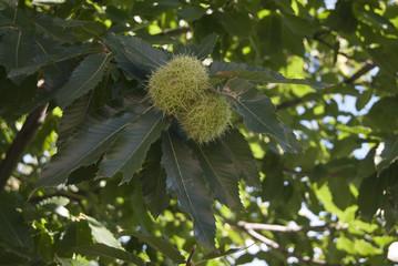 erizos con castañas el fruto verde en las ramas de los árboles.