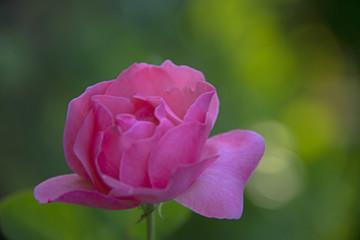 FLOWERS - Rose in a sunlight
