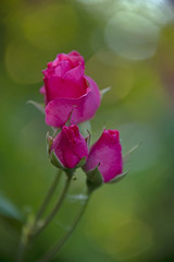 three roses - a green background
