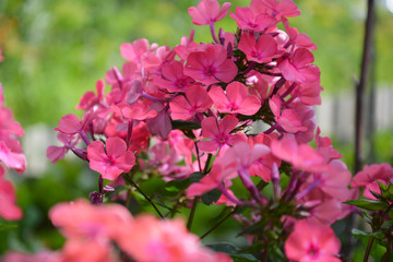 phlox, phloxes, flower, pink, flowers, nature, garden, spring, plant, blossom, rose, bloom, green, red, flora, summer, purple, beautiful, floral, beauty, tree, bush, petal, colorful, rhododendron, blo