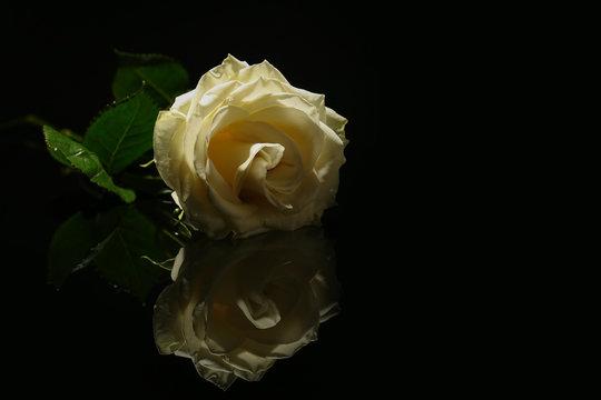 Beautiful white rose on black background. Funeral symbol