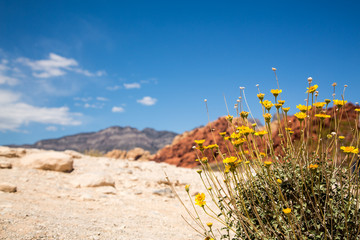 Wildflowers in Red Rock Canyon
