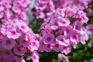 phloxes, phlox, background, backdrop, flower, pink, flowers, nature, garden, plant, spring, blossom, purple, bloom, flora, green, beauty, summer, floral, beautiful, rose, rhododendron, macro, pink