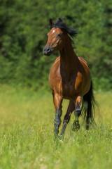 Galoppierendes Pferd auf der Weide