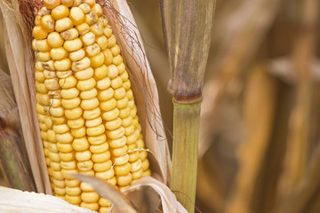 Closeup View of the Ears of Corn on the Stalks Ready for Harvest