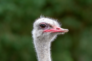 The head of an ostrich closeup on a green background.