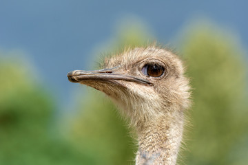 The head of an ostrich closeup on a blurred background. Side view.