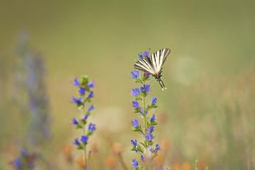 scarce swallowtail, Iphiclides podalirius, butterfly