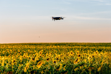 Flying a copter / drone over a field of sunflowers at sunset. Russian fields. Russian landscape. Ryazan region.
