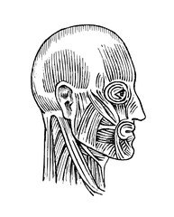 Human anatomy. Muscular and bone system of the head. Medical Vector illustration for science, medicine and biology. Male face Engraved hand drawn old monochrome Vintage sketch. Profile view