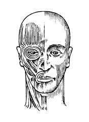 Human anatomy. Muscular and bone system of the head. Medical Vector illustration for science, medicine and biology. Male face Engraved hand drawn old monochrome Vintage sketch. Front view.