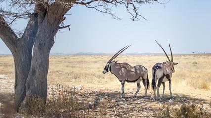 Wall Murals Antelope ORIX antilope Parc national Etosha en Namibie Safari