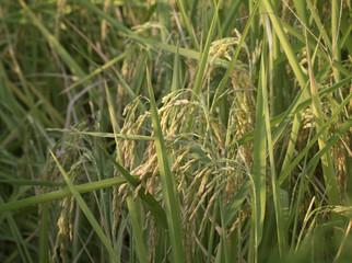Close Up View of Green Rice Fields