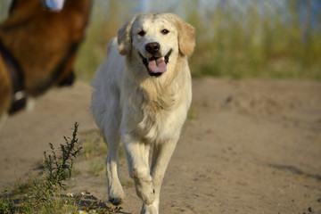 Dogs play with each other. Labrador retriever. Merry fuss puppies. Aggressive dog. Training of dogs.  Puppies education, cynology, intensive training of young dogs. Young energetic dog on a walk.