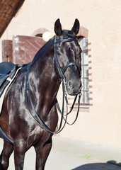 portrait of sportive dressage black stallion posing at stable background
