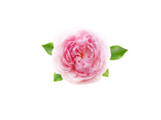 Pink antique rose flower isolated on white