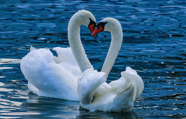Beautiful swan love heart symbol