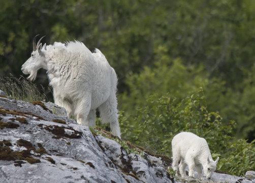 Mountain Goat Mom and Kid, Glacier Bay, Alaska