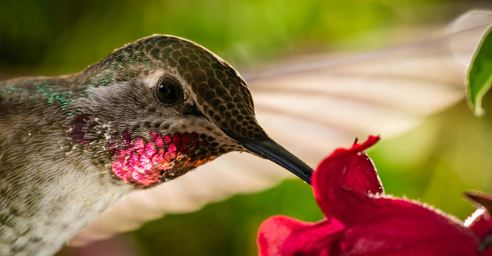 Head shot of hummingbird with reflective red chin