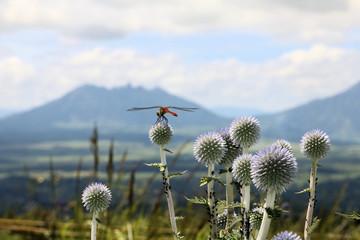 ヒゴタイの花に羽を休めるトンボ