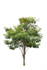 Perennial plant isolate on white background , Tropical tree with brown trunk and green bush