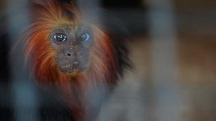 Golden Headed Lion Tamarin Monkey