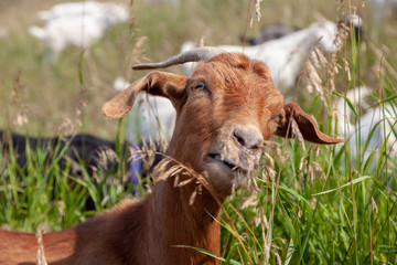 Targeted Grazing Using Goats for Control Weeds