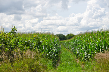 Corn Fields and Clouds