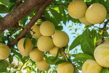 A lot of yellow plums on the branch in orchard.