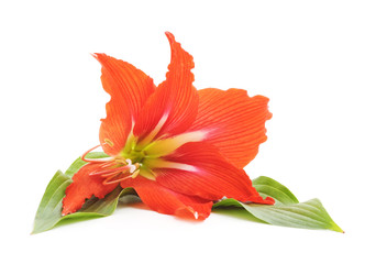 One red lily.