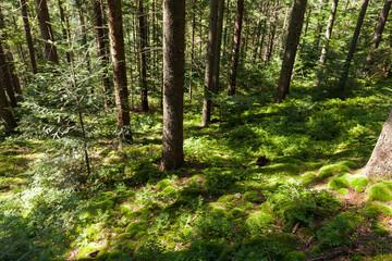 Forest wilderness pine tree background, autumn nature bright.