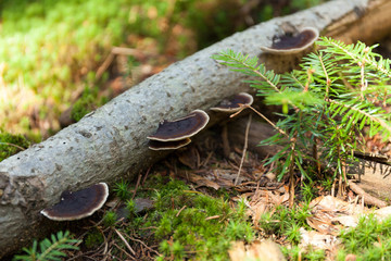 Pinicola fomitopsis on bark, nature ecosystem.
