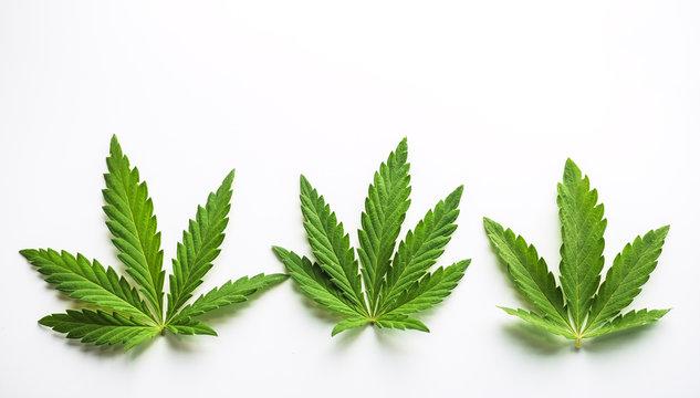 Marijuana plant at outdoor cannabis farm field.