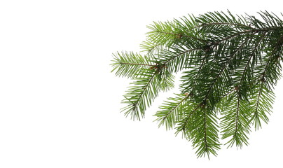 Pine branch, natural decoration isolated on white background, clipping path