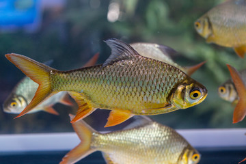 Group of Silver Barb, Java barb