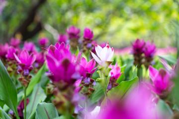 Siam tulip or summer tulip (Curcuma alismatifolia) in the garden