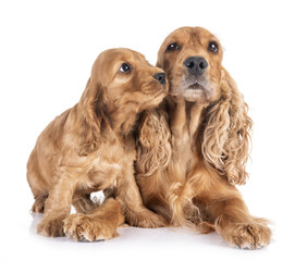 Fototapete - puppy and mother cocker spaniel