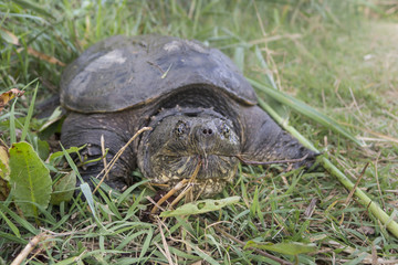 Common snapping turtle, Chelydra serpentina,