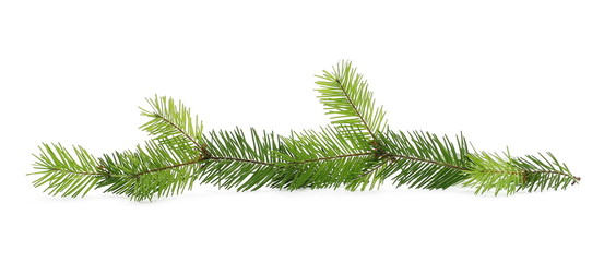 Pine branch, natural decoration isolated on white background