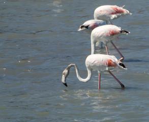 Four pink flamingos walking on the salt lake in Spain