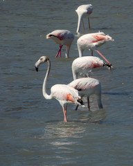 Four pink flamingos walking on the salt lake in Spain. Soma are hiding their head.