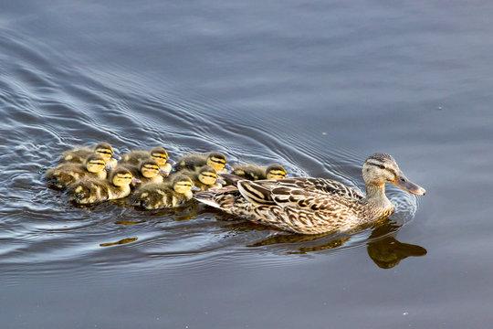 Jeunes canards colverts suivant leur mère