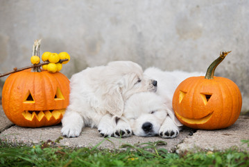 two golden retriever puppies sleeping outdoors