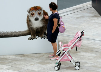 A woman touches a crowned lemur picture, part of a street exhibition, in Milan