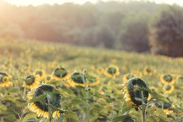 Sun rising on a yellow and red sunflowers field landscape