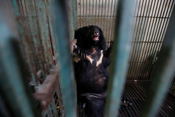 A rescued bear which was held in captivity at a bear bile farm is seen in a cage in Thai Nguyen